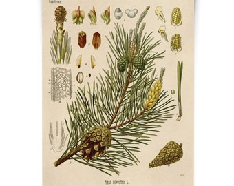 Botanical Scots Pine Tree Diagram Print. Educational Chart Diagram Poster from Kohler's Botanical. Medicinal Plant Guide evergreen - CP280