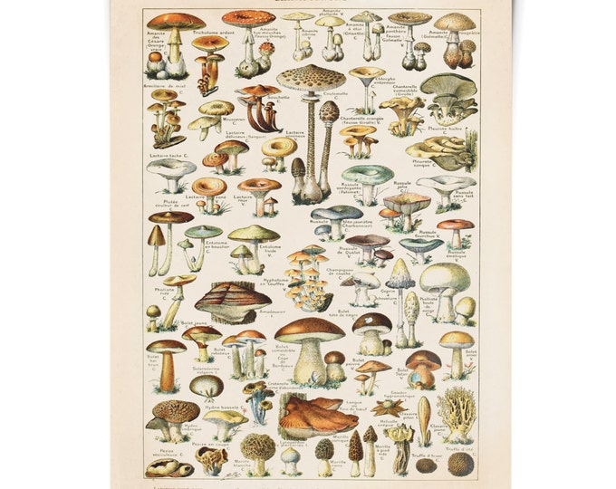 Featured listing image: Mushroom Poster - Vintage Botanical Mushroom Diagram. Antique print- Variety of Mushrooms and Fungi Educational Chart Diagram  Millot. CP239