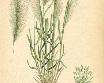Botanical Weed Illustration Book Page 7  - SKUNK GRASS