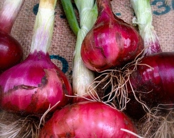 Red Onion Rossa di Milano Onion Open Pollinated Variety with Long Storage Potential Long to Intermediate Type Rare Seeds