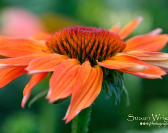 Flower Photography, Wall Art, Nature Print, Home Decor, Coneflower, Art Photography, Print, Wall Picture, Nature Photography