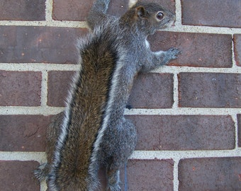 Climbing up Gray squirrel mount, full body gray squirrel mount, taxidermy, log cabin, hunting, lake house