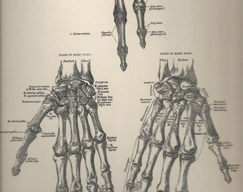 Right Hand Anatomical Plate 17, Descriptive Atlas of Anatomy 1880