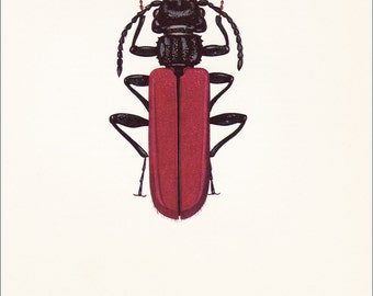 vintage beetle insect art print Bark Beetle red Cucujus coccinatus home decor 8x10 inches