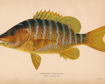 1905 Schoolmaster Snapper Fish Antique Print