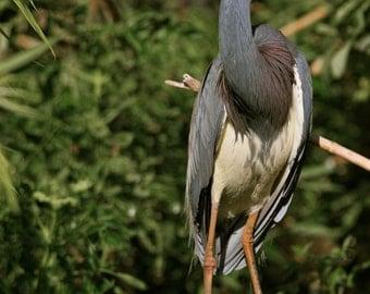 Tricolored Heron Breeding Colors Photograph - Nature Photography, Birds, Wildlife, Art