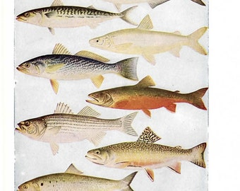 Fish Illustration, Fish Print- vintage color 1930s encyclopedia book page, nature print, fish wall art, fish decor, bass, trout, salmon