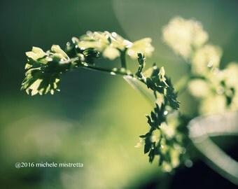 Parsley print, herb photography, bokeh photography, green wall decor, parsley wall decor, kitchen herb art, handmade print, bokeh print,