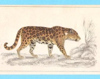 Antique animal (leopard or jaguar) illustration