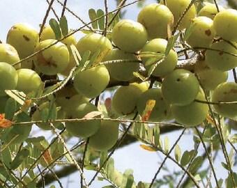 Phyllanthus Emblica, Gooseberry tree, 20 seeds