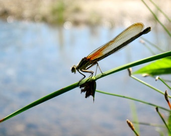 Damselfly on the Au Sable 8x10 print