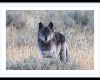 Beautiful Wolf in Yellowstone National Park