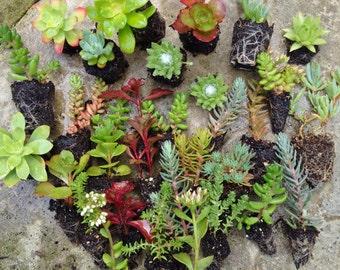 25 X Mixed Rockery/Alpine plug collection,Fairy gardens,wedding favor,succulents,Terrarium,Sedums