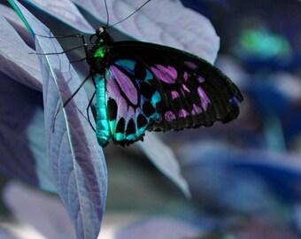 Big Butterfly in Wonderland 8x10 Glossy print