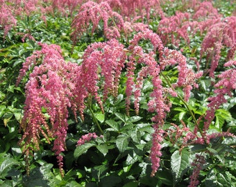 Ostrich Plume - Astilbe Root/Plant