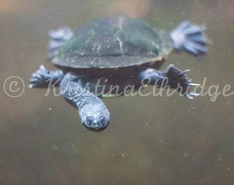 Snake Head Turtle (IMG8940Turtle)