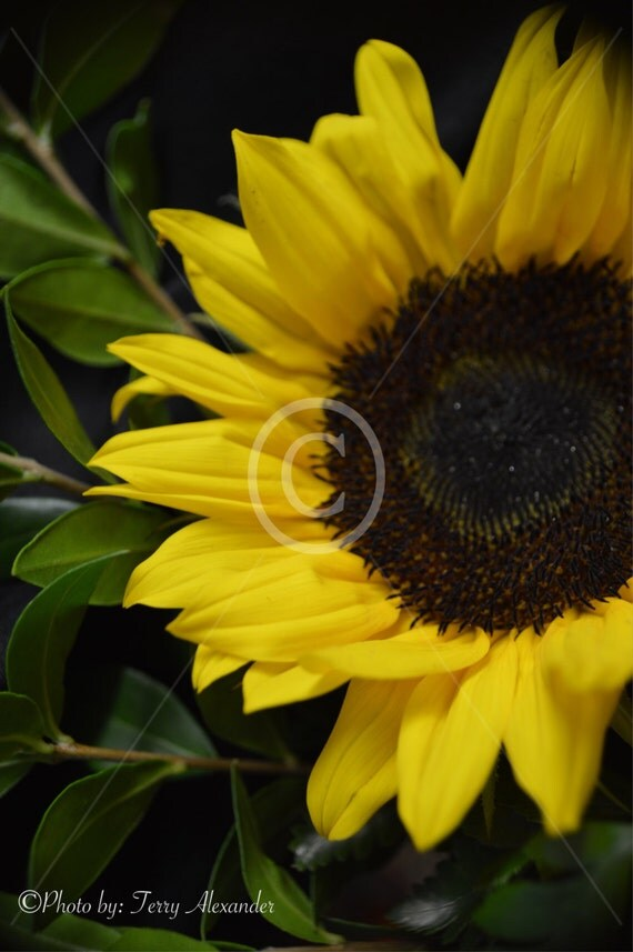 sunflower black singles 150 singles or 120 duplicates is celebrated painter vincent van gogh created numerous still life masterpieces inspired by the beautiful sunflower black.