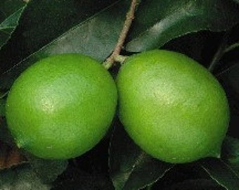 Persian Lime Live Plant