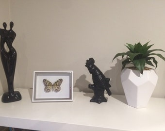 Rare Giant wood nymph butterfly in white shadow box frame.