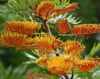 Grevillea Robusta, Southern Silky Oak, Australian Silver Oak Flowering Tree 10 Seeds, Garden Evergreen Landscape