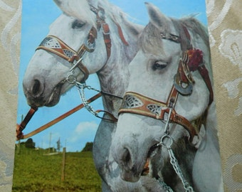 Vintage Postcard Two White Horses With Ornate Bridles Unused