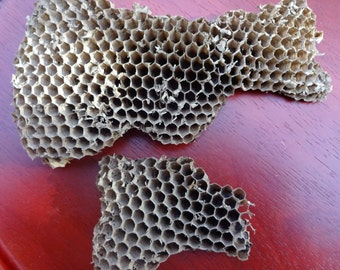 2 Real Paper wasp nests paper hornet nest natural wasp nest wood pulp large (#1)