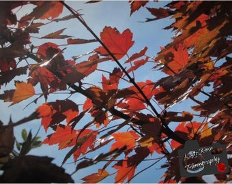 Autumn Maple Leaves (Full Color)