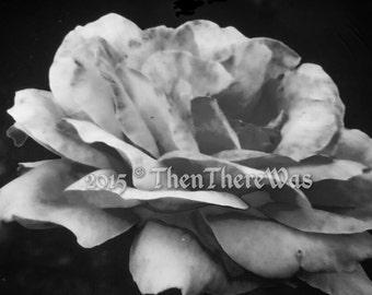 The Rose Digital Photo