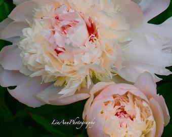 Pink Peony Macro Fine Art Photography