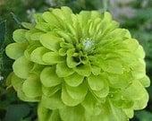 Zinnia Lime Green Envy Flower Seeds / Annual 30+