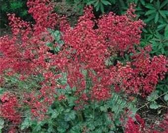 Coral Bells Firefly/Heuchera Sanguinea/Perennial   75+
