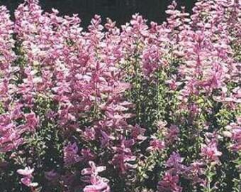 Pink Sundae Salvia Flower Seeds/Annual  40+