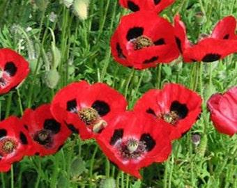 Ladybird Scarlet Poppy Flower Seeds/Papaver Commutatum/Annual   100+