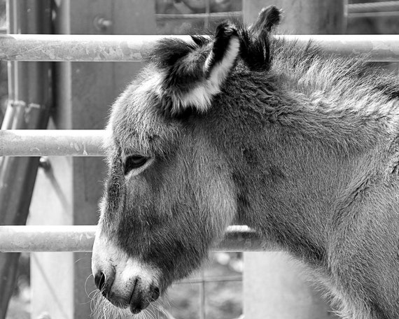 Donkey Photograph - Black White Photography - Fine Art Print - Home Wall Decor - Farm House Decor - Animal Pictures - Children's Room - Gift