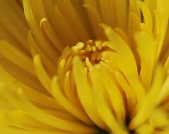 Spider Mum - botanical photograph - yellow gold flower art nature photography detail center