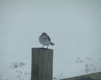 Angry Sparrow Bird on a Post in Winter Photograph