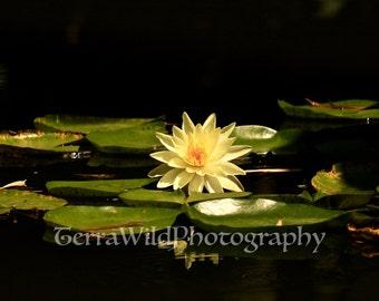 Water Lily Photo 2||Wall Art
