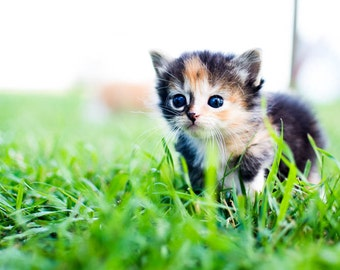 Calico Kitty Photography Print