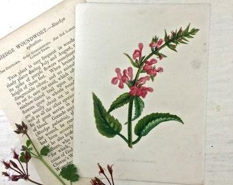 1883 Anne Pratt Wild Flower Botanical Print Book Plate Hedge Woundwort