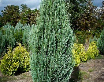 Skyrocket Juniper 3-4 Foot