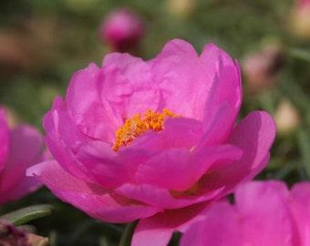 "Portulaca grandiflora ""Moss Rose, deep pink"" 50 Seeds"