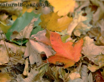 Fall Leaves, seasonal autumn photograph. leaves changing colour, red, green, yellow, maple, oak leaves.  Nature photography, wall art.