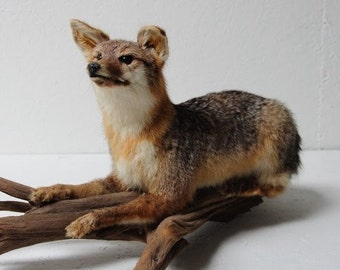 Taxidermied fox on driftwood
