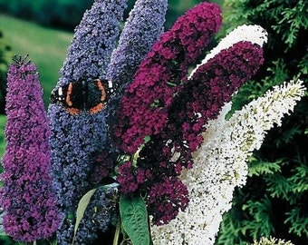 Fragrant Butterfly Bush 'Buddleia Davidii' 50 Seeds