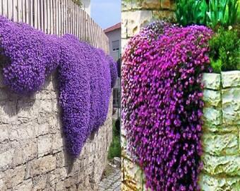 Aubretia Royal Violet (500 SEEDS) or Pink (350 SEEDS)