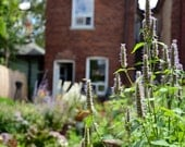 Anise Hyssop Seed Mix - Edible Flowers