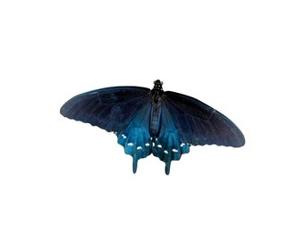 Pipevine Swallowtail - Butterfly Vinyl Decal - Varying Sizes