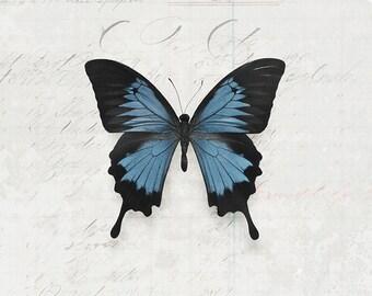 8x12 Blue Swallowtail, butterfly art, nature art, entomology, insect art, fine art photography