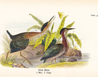 1890 Audubon Bird Print - Green Heron - Vintage Antique Book Plate for Natural Science or History Lover Great for Framing 100 Years Old