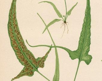 1886 Antique Print of Beautiful Ferns - Walking Leaf - Pinnatifid Spleenwort